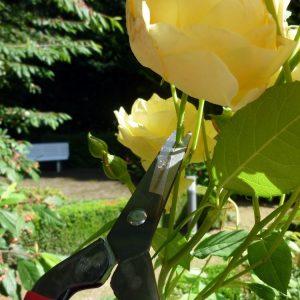 Snipping Rose Okatsune304 Snips